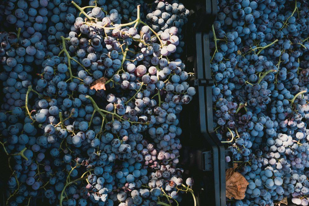 Uva di Amarone della Valpolicella della vigna della cantina Accordini Igino di Guido Accordini